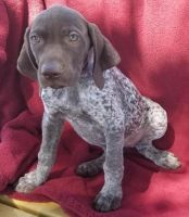 German Shorthaired Pointer Puppies for sale in Texas City, TX, USA. price: NA