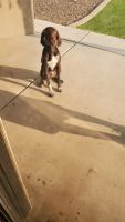 German Shorthaired Pointer Puppies for sale in Avondale, AZ, USA. price: NA