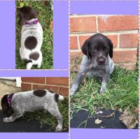 German Shorthaired Pointer Puppies for sale in Secane, Upper Darby, PA, USA. price: NA