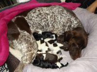 German Shorthaired Pointer Puppies for sale in Marion, IL, USA. price: NA