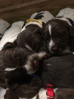 German Shorthaired Pointer Puppies for sale in Woodstock Valley, Woodstock, CT, USA. price: NA
