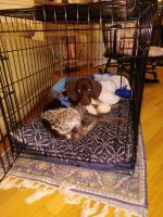 German Shorthaired Pointer Puppies for sale in Stafford, VA 22554, USA. price: NA