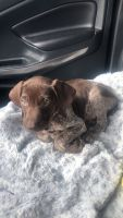 German Shorthaired Pointer Puppies for sale in Mt Carmel, PA 17851, USA. price: NA