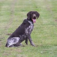german shorthaired pointer dog
