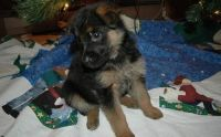 German Spaniel Puppies for sale in Oregon City, OR 97045, USA. price: NA