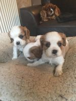 German Spaniel Puppies for sale in Indianapolis, IN, USA. price: NA