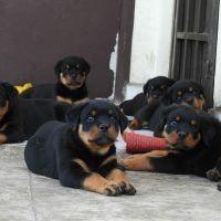 German Spaniel Puppies for sale in Chicago, IL, USA. price: NA