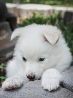 German Spitz (Mittel) Puppies for sale in Sun Valley, CA 91352, USA. price: NA