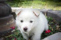 German Spitz (Mittel) Puppies Photos