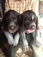 German Wirehaired Pointer Puppies for sale in Tampa, FL, USA. price: NA