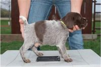 German Wirehaired Pointer Puppies Photos