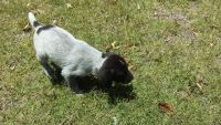 German Wirehaired Pointer Puppies for sale in Los Angeles, CA, USA. price: NA