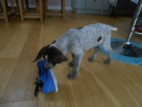 German Wirehaired Pointer Puppies for sale in Paris, TX 75461, USA. price: NA