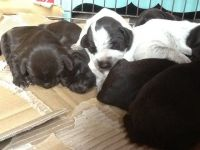 German Wirehaired Pointer Puppies for sale in NJ-17, Paramus, NJ 07652, USA. price: NA