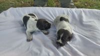 German Wirehaired Pointer Puppies for sale in Hillsborough, NC 27278, USA. price: NA