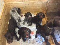 German Wirehaired Pointer Puppies for sale in Phoenix, AZ, USA. price: NA