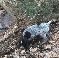 German Wirehaired Pointer Puppies for sale in Ephrata, PA 17522, USA. price: NA