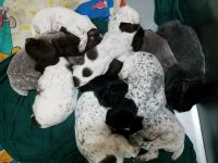 German Wirehaired Pointer Puppies for sale in Aberdeen, SD 57401, USA. price: NA