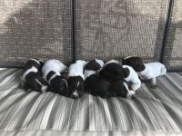 German Wirehaired Pointer Puppies for sale in Virginia, NE 68458, USA. price: NA