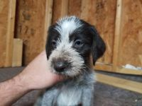 German Wirehaired Pointer Puppies for sale in Irwin, OH 43029, USA. price: NA