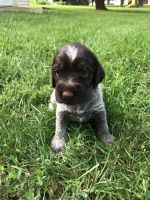 German Wirehaired Pointer Puppies for sale in Orange City, IA 51041, USA. price: NA
