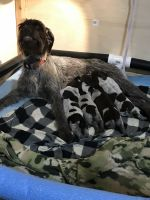 German Wirehaired Pointer Puppies for sale in Glyndon, MN 56547, USA. price: NA