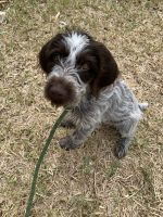 German Wirehaired Pointer Puppies for sale in St. Augustine, FL, USA. price: NA