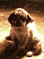 German Wirehaired Pointer Puppies for sale in Parsons, KS, USA. price: NA
