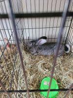 Giant Chinchilla Rabbits for sale in North Windham, CT 06256, USA. price: NA