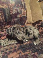 Giant Maso Mastiff Puppies Photos