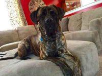 giant maso mastiff dog