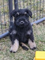 Giant Schnauzer Puppies for sale in Lima, OH, USA. price: NA