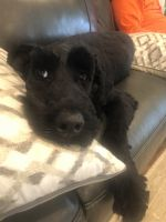 Giant Schnauzer Puppies for sale in Memphis, TN, USA. price: NA