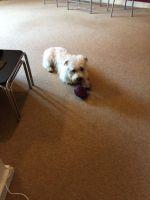 Glen of Imaal Terrier Puppies Photos