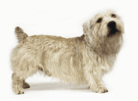 glen of imaal terrier dog