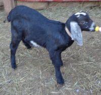 Goat Animals for sale in Staunton, VA 24401, USA. price: NA
