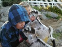 Goat Animals for sale in California, USA. price: NA