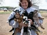 Goat Animals for sale in Memphis, TN, USA. price: NA