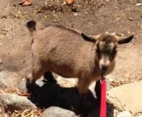 Goat Animals for sale in East Los Angeles, CA, USA. price: NA