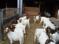 Goat Animals for sale in Boulder, CO, USA. price: NA