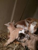 Goat Animals for sale in Glen Campbell, PA 15742, USA. price: NA