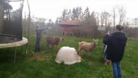 Goat Animals for sale in Arlington, WA, USA. price: NA