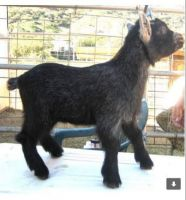 Goat Animals for sale in Los Angeles, CA, USA. price: NA