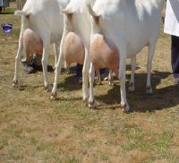 Goat Animals for sale in El Paso, TX, USA. price: NA
