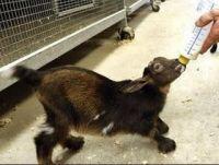 Goat Animals Photos