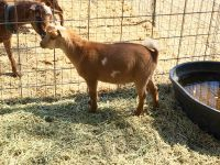 Goat Animals for sale in Fallbrook, CA 92028, USA. price: NA
