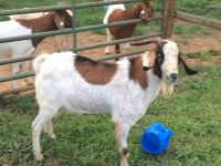 Goat Animals for sale in Wilmington, DE 19802, USA. price: NA