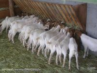 Goat Animals for sale in TX-121, Blue Ridge, TX 75424, USA. price: NA