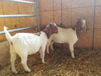 Goat Animals for sale in Bellefontaine, OH 43311, USA. price: NA