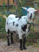 Goat Animals for sale in Floral City, FL 34436, USA. price: NA